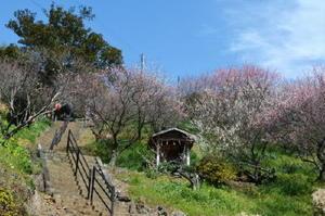 紅白に咲き誇る牛尾神社の梅林=小城市小城町