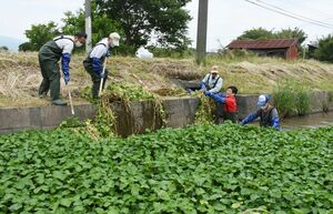 クリークに茂るブラジルチドメグサを刈り取る参加者=上峰町江迎地区