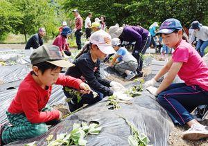 「太陽が出る東の方向に」とサツマイモの苗を植える子どもたち=大町町のダッシュ村