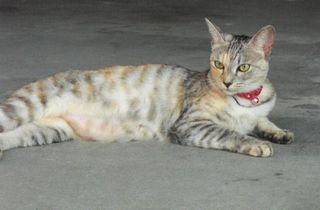 <譲ります>猫 生後1歳4カ月の雑種(キジトラ・雌1)