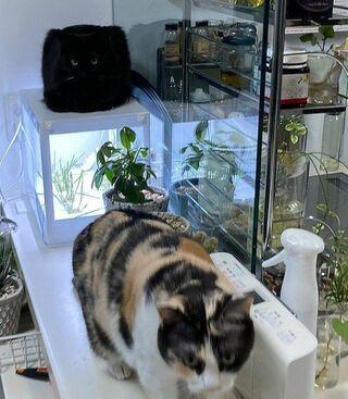 """リアル""""トムジェリ""""? ロシアの帽子? 四角い黒猫にフォロワー困惑…謎フォルムの真相とは"""