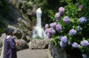 見ごろを迎えたアジサイや、滝を楽しむ観光客=唐津市相知町の見帰りの滝