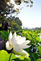 朝日を浴びて白く輝くハス。散歩中に見入ったり、写真に収めたりする人の姿が見られた=20日午前7時11分、佐賀市の佐賀城公園南堀