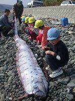 神集島に打ち上げられた深海魚「リュウグウノツカイ」=唐津市神集島