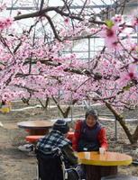 ハウス内で色鮮やかに咲き誇る桃の花=唐津市七山滝川の「七山ももの花見園」