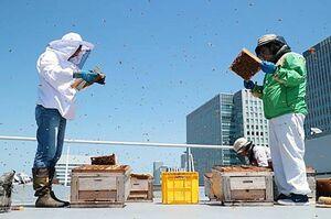 札幌市のビルの屋上に設置された巣箱。ミツバチの様子を見ている=2018年6月(提供)