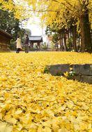 落葉彩り、黄金に染まる境内