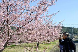 満開を迎えた河津桜=有田町のチャイナ・オン・ザ・パーク