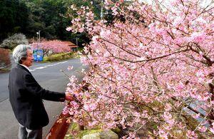 早くも満開となった河津桜。左は都市右太雄さん=唐津市相知町
