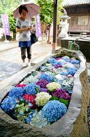 青、紫、赤、白と色とりどりのアジサイを浮かべた福母八幡宮の「花手水」=11日午後、杵島郡大町町