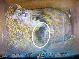 ツシマヤマネコの母親と生まれた子ネコ(円内)(福岡市動物園提供)