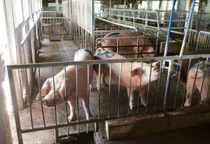 制度上4月から2年目に入ったTPPで、豚の生産者価格は下落している。写真は、県の畜産公社で飼われている豚