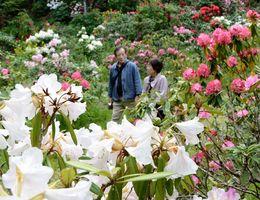30種類約1万本のシャクナゲが咲く浄徳寺=2017年4月