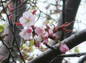 日本一遅い桜開花、稚内と釧路