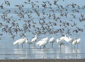 東よか干潟に飛来ししたクロツラヘラサギ(手前)、後ろは大群で飛ぶハマシギ=4月28日午前8時19分、佐賀市東与賀町