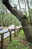 「危険木」として赤いビニールテープが巻かれた伐採対象のマツの木=唐津市の虹の松原