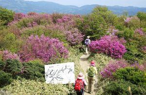 井原山山頂付近に群生し、見ごろを迎えたミツバツツジ=佐賀市富士町と福岡県の県境