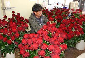 天皇誕生日に献上するバラ「アマダ+」の準備をする島俊哉さん=佐賀市
