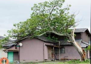 台風18号の影響で根元から折れ、民家に覆いかぶさるようにして倒れた老木=神埼市千代田町迎島
