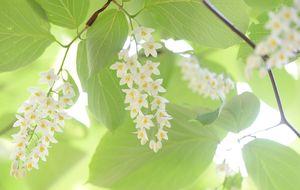 白く小さな花をびっしりと咲かせた沙羅双樹=小城市小城町の寶地院