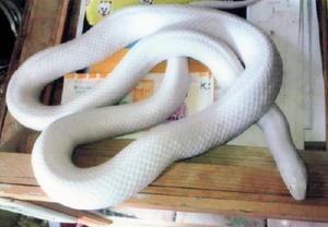 宮原庭園で飼われている白ヘビの「ヒミちゃん」(提供)
