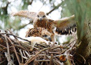 巣の上で、じゃれ合うトビの幼鳥=唐津市富士見町(旧大成小から撮影)