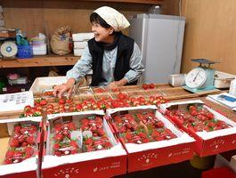 収穫したイチゴ新品種「いちごさん」をパックに詰める生産者=15日朝、佐賀市三瀬村