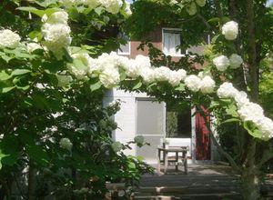 庭に咲いたオオデマリ
