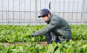 自ら育てたホウレンソウを初収穫するトレーニングファーム第1期研修生の西岡央真さん=佐賀市富士町藤瀬
