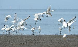 東よか海岸に飛来したクロツラヘラサギ=4月28日午前8時16分、佐賀市東与賀町