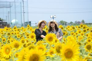 一面のヒマワリを背景にスマートフォンでの自撮りを楽しむ来園者=佐賀市兵庫町のひょうたん島公園西側