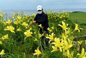 海を見下ろす岬で、可憐な花を咲かせるユウスゲ。花の手入れをする石田政人さん=4日午後7時6分、唐津市呼子町加部島の杉の原キャンプ場跡
