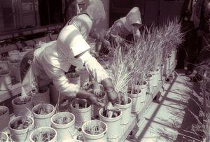 「ぴかいち」の緊急増殖分の刈り取り=1990年5月15日、県農業試験場
