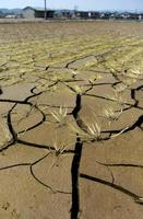 小田川の決壊で浸水被害を受け、連日の猛暑でひび割れた田んぼ=19日、岡山県倉敷市真備町地区