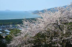 鏡山(唐津市) つづら折りの山道を桜が彩る。眼下には唐津湾や虹の松原が広がる