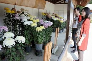 美しく咲いた菊を観賞する参拝客=佐賀市の佐嘉神社