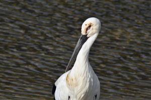目の周辺や羽に油のようなものが付着した鹿児島県・奄美大島にすみ着いているコウノトリ=13日(宮山修さん提供)