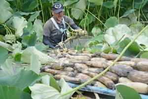 ハウス内で順調に育ったレンコンを収穫する田中昭弘さん=杵島郡白石町