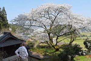 高さ13メートルの大木にかれんな花びらを満開にした明星桜=伊万里市東山代