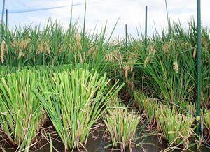 実った後、地面から高い位置(左)と低い位置(右)で刈った稲。このあと成長して2回目の実が実る(農研機構九州沖縄農業研究センター提供)