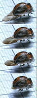 後ろ羽を折り畳むナナホシテントウの連続写真。手前の「さや羽」は透明な人工羽(東京大の斉藤一哉助教提供)