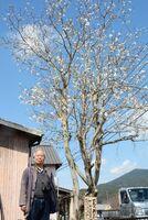 藤さん宅の敷地内で花を咲かせるハクモクレン=有田町大木宿