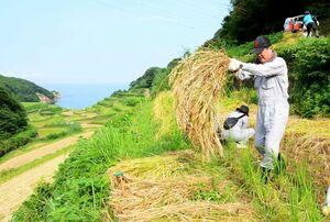 収穫した稲を積み上げる町職員=玄海町の浜野浦の棚田
