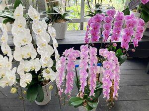 お祝いの贈り物や盆のお供えなどで多く買い求められるコチョウラン。定番の白に加えて、淡いピンクの花色も人気が出てきています
