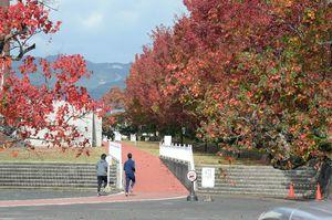 モミジバフウやナンキンハゼが彩りを添えるランニングコース=佐賀市の佐賀県総合運動場