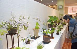 春の訪れを告げる200鉢が並ぶ武雄山野草会の山野草展=武雄市文化会館