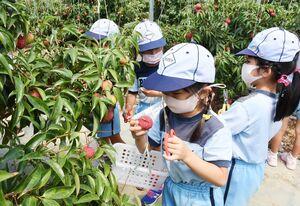 真っ赤に色づいたライチを収穫する園児=基山町のミキファームきやま