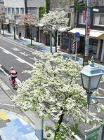 見頃を迎え、通りを彩るハナミズキ=佐賀市水ヶ江
