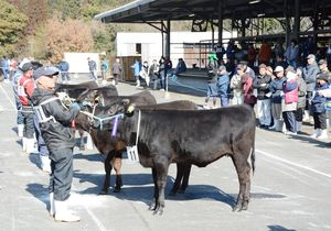 審査で上位になった肉用牛=多久市のJAさが畜産センター