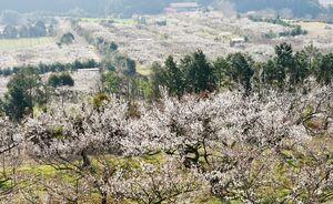 梅園を白く染める梅の花=伊万里市木須町